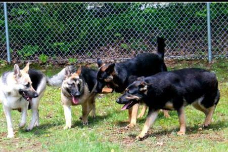 Stonewood German Shepherd Kennels